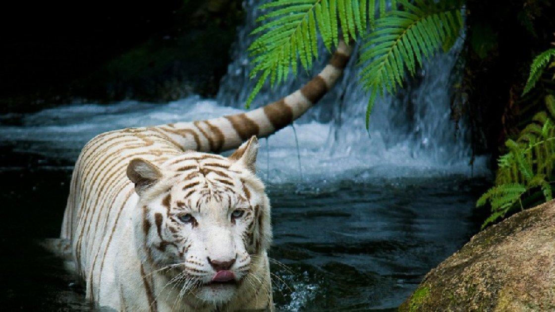 Сингапурский зоопарк - исчезающие белые тигры