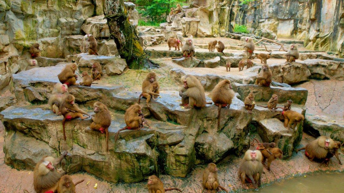 Сингапурский зоопарк - обезьяны