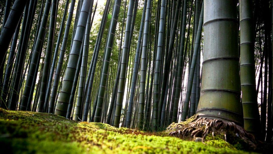Бамбуковый лес Сагано – крупные экземпляры
