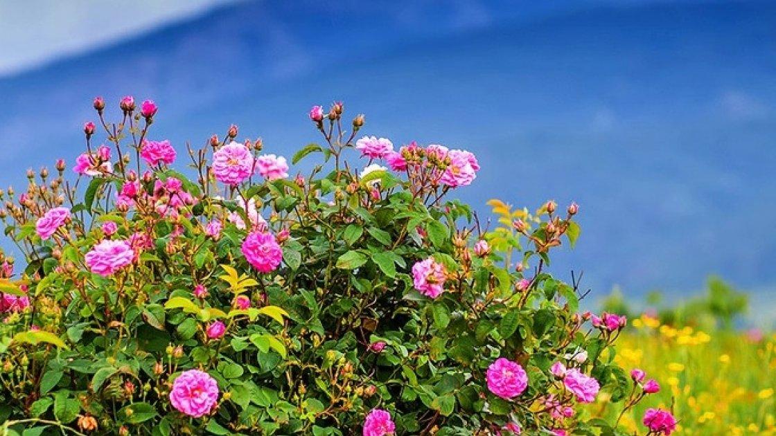 Долина роз в Болгарии - цветы