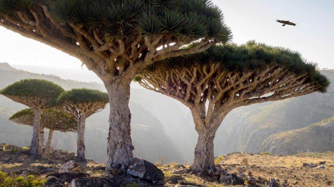 Остров Сокотра в Йемене драцены