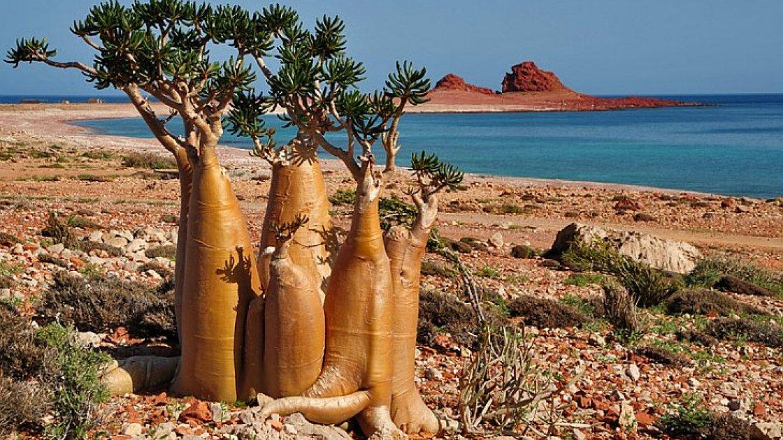 Остров Сокотра в Йемене - бутылочное дерево еще
