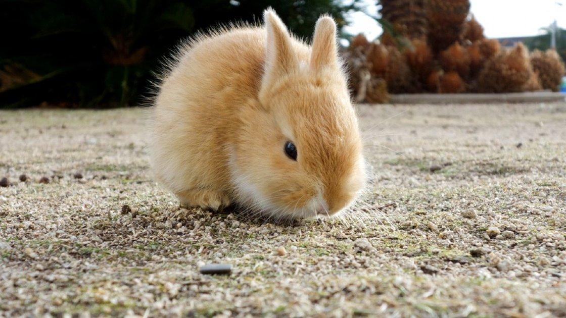 «Остров кроликов» Окуносима в Японии 5