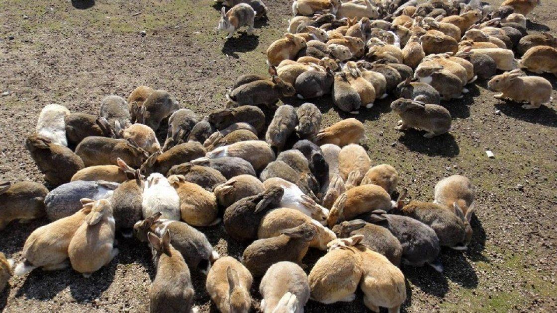 «Остров кроликов» Окуносима в Японии 4