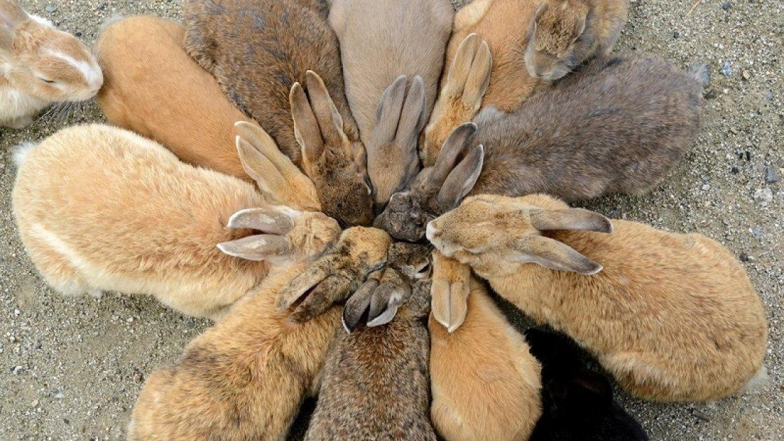 «Остров кроликов» Окуносима в Японии  6