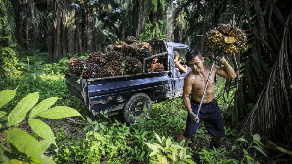 пальмовые плантации3