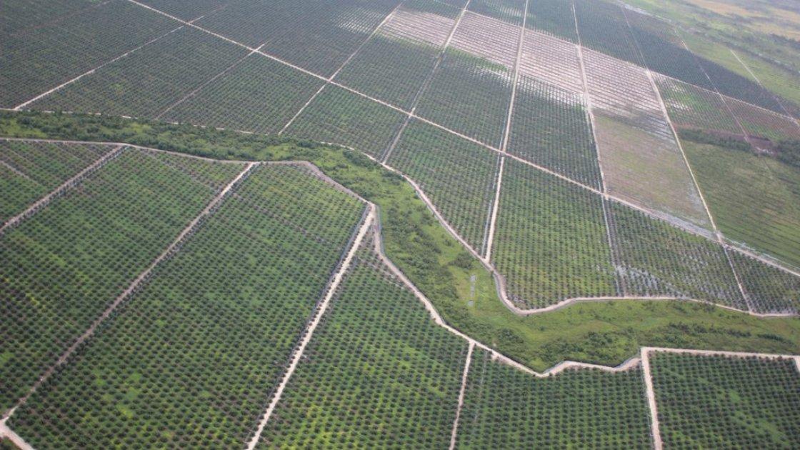 пальмовые плантации1