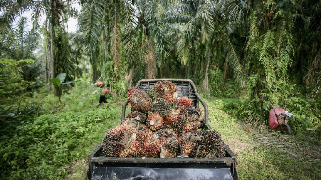 пальмовые плантации4