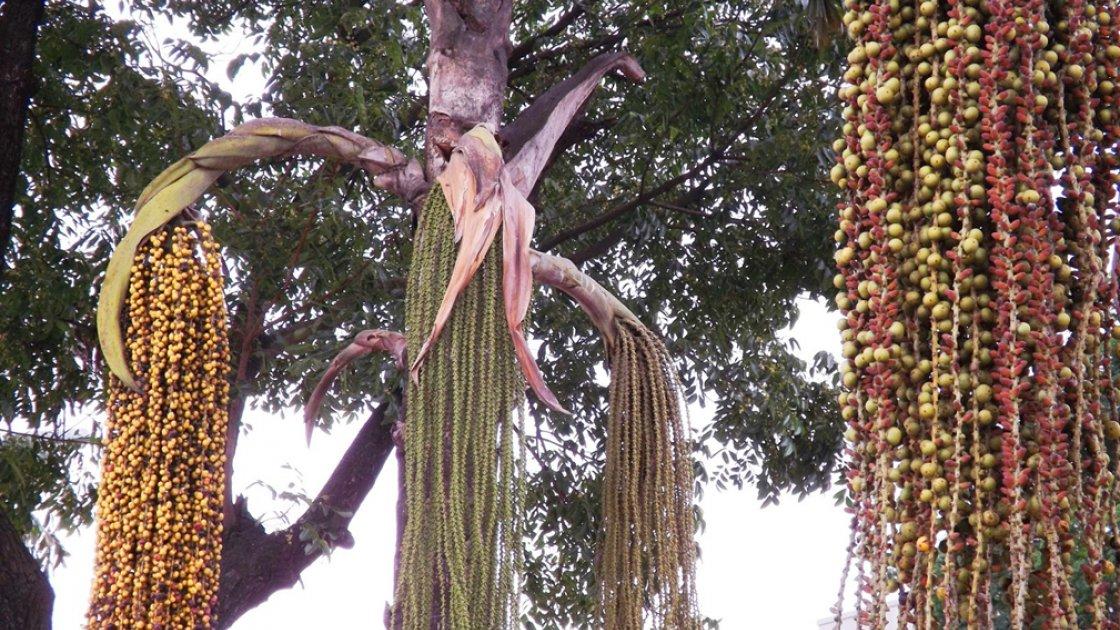Цветы пальмы