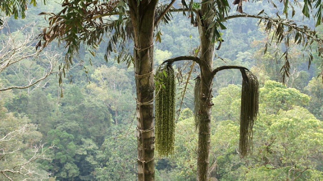 Пальмы, которые дают сок